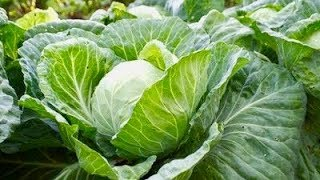 6 Incredible Health Benefits Of Cabbage