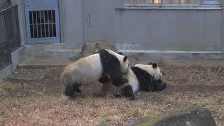 上野のパンダ4年ぶり交尾