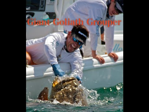 Giant Goliath Grouper and Barracuda for David and Sean Goldman on Bass 2 Billfish TV (Captiva)