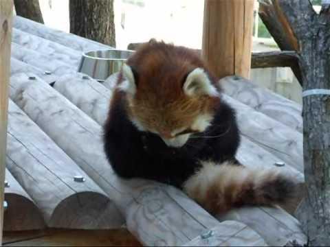 午後のレッサーパンダ☆円山動物園レッサーパンダ
