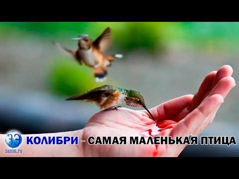 Серия 9. Колибри - самая маленькая птица на планете