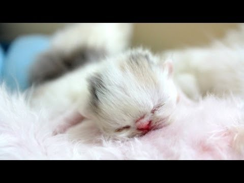 Dancing Newborn Marshmallow Kitten