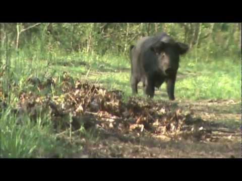 Spot And Stalk Nc Wild Boar Hunt video