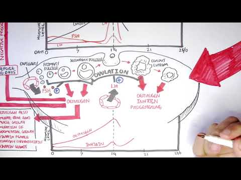 Female Reproductive System - Menstrual Cycle, Hormones and Regulation