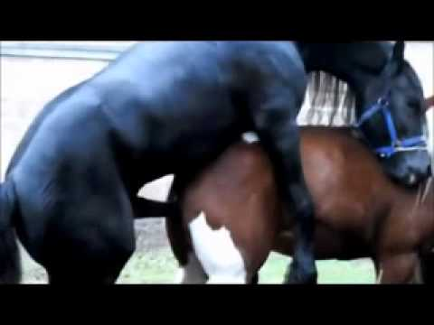 Black Stallion Popping U, Horse Mating   Horse Breeding video