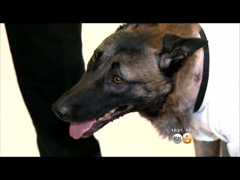 Calif. K-9 shot in line of duty returns home