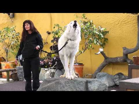 San Diego Zoo - White Arctic Wolf Howling video
