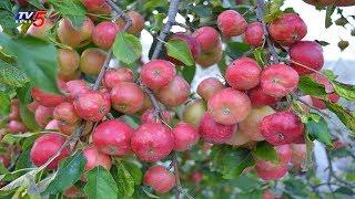 విశాఖలో యాపిల్ తోటలు..! | Apple Farming In Visakhapatnam Agency