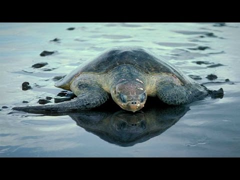 Olive Ridley turtles found dead on Puri beach in Odisha
