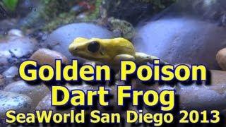 Golden Poison Dart Frog SeaWorld San Diego 2013