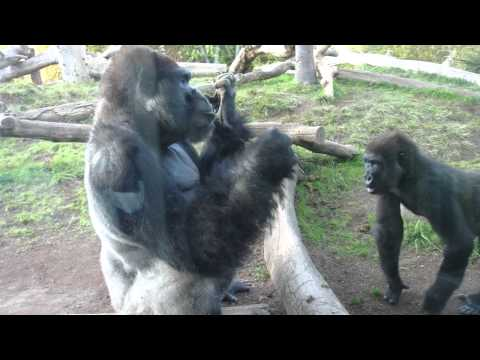 Gorilla Pulls Poop Out His Butt, Eats It, And Shares With Son video