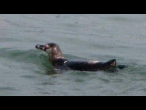 Fugitive penguin on run for 82 days caught in Tokyo Bay