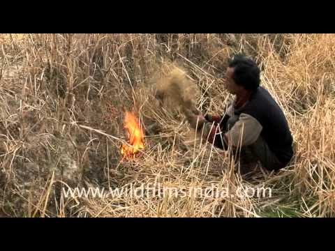 Rat Hunting in north-east India