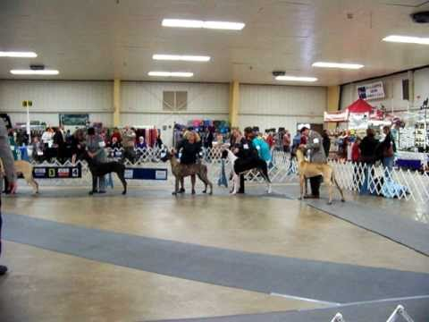 Great Dane Dog Show