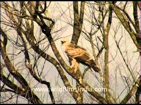 Marsh harrier perching on a leafless tree!