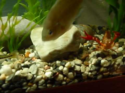 Native fish tank bluegill bass youtube for Bluegill fish tank