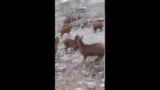Artvin-Yusufeli Dağ keçisi