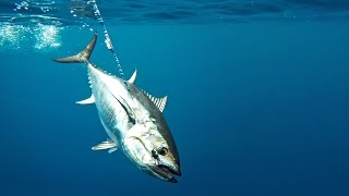 How To: Troll Harness Jigs for Bluefin Tuna by Hogy