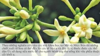 Công dụng của hoa đu đủ đực và tác dung chữa bệnh bất ngờ của hoa đu đủ đực