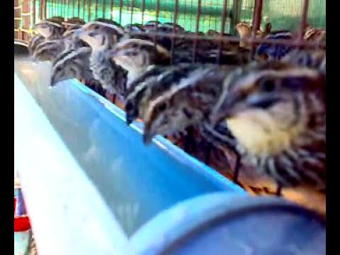 QUAIL FARMING -