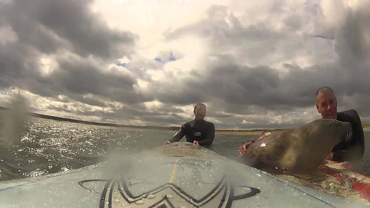 Un bébé phoque vient faire du surf