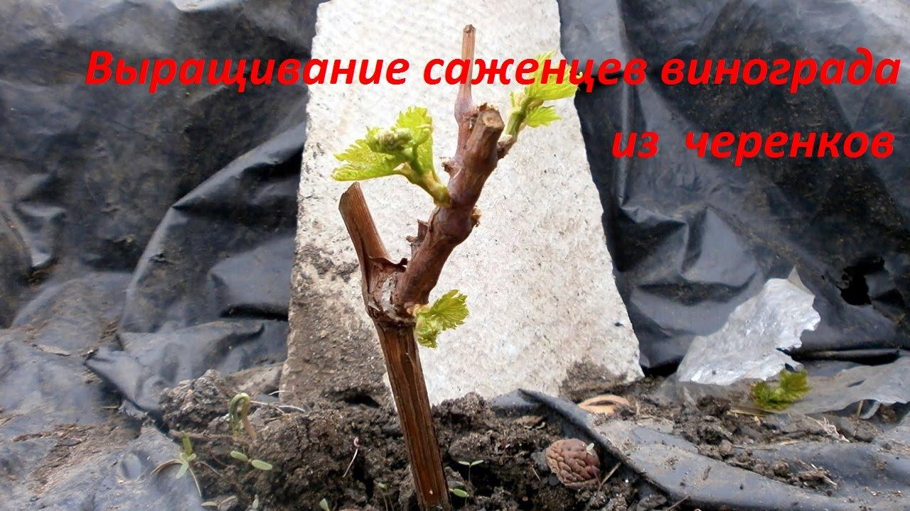 Как сажать черенки винограда весной, чтобы был 31