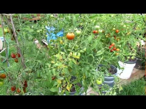 How to Treat Tomato Leaf Diseases: Pick and Spray