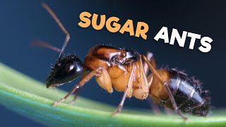 Sugar Ants | Tandem Running Their Way to Victory