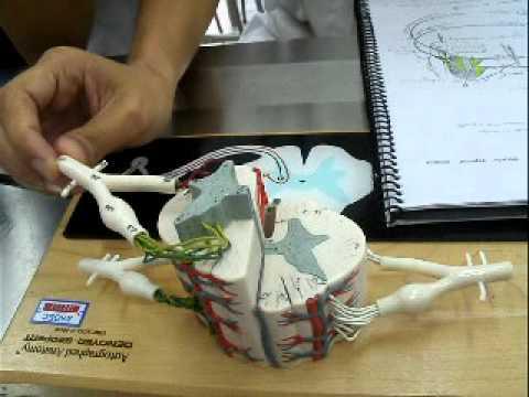 Medula espinhal anatomia resumo