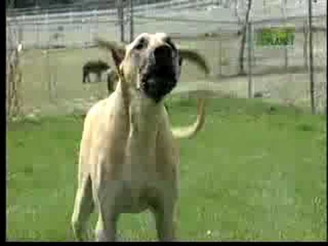 Breed All About It - Great Dane
