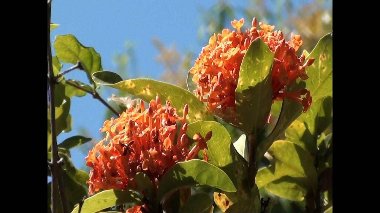 Ixoras, Flores, Plantas de jardins, Plantas ornamentais, jardinagens