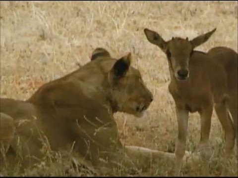 Tudo a Ver 22 /08/2012: Leoa adota filhote de antílope