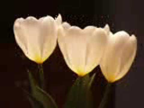 Ennio Morricone (le Vent Le Cri) & Tulips video