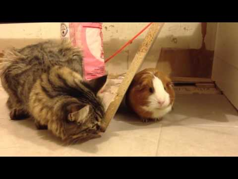 Annoying cat wants to play with guinea pig