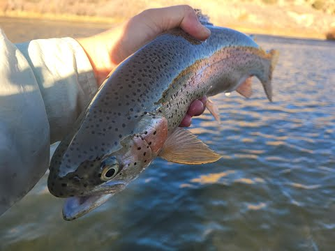 Trout Dry Fly Fishing AC Mayfly San Juan River New Mexico Oct 2012
