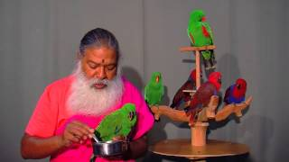 Care for Eclectus Parrots