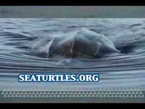 Ancient Seaturtles