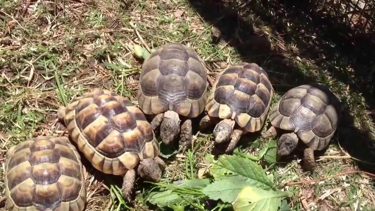 Marginated Tortoise Care Marginated Tortoises Dining in