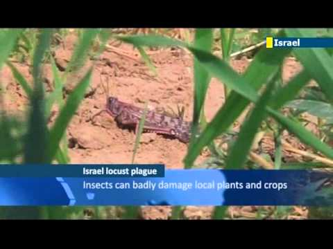 Millions of locusts swarm across southern Israel: Biblical plague just in time for Passover