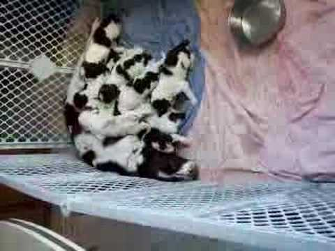 12 English Springer Spaniel Puppies fighting for food.... Video