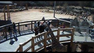 Cheyenne Mountain Zoo Outdoor Giraffe Cam2