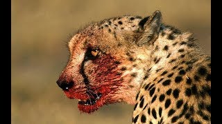 Africa Wildlife  - Wild Animals in Africa Documentary   Predators (2018)
