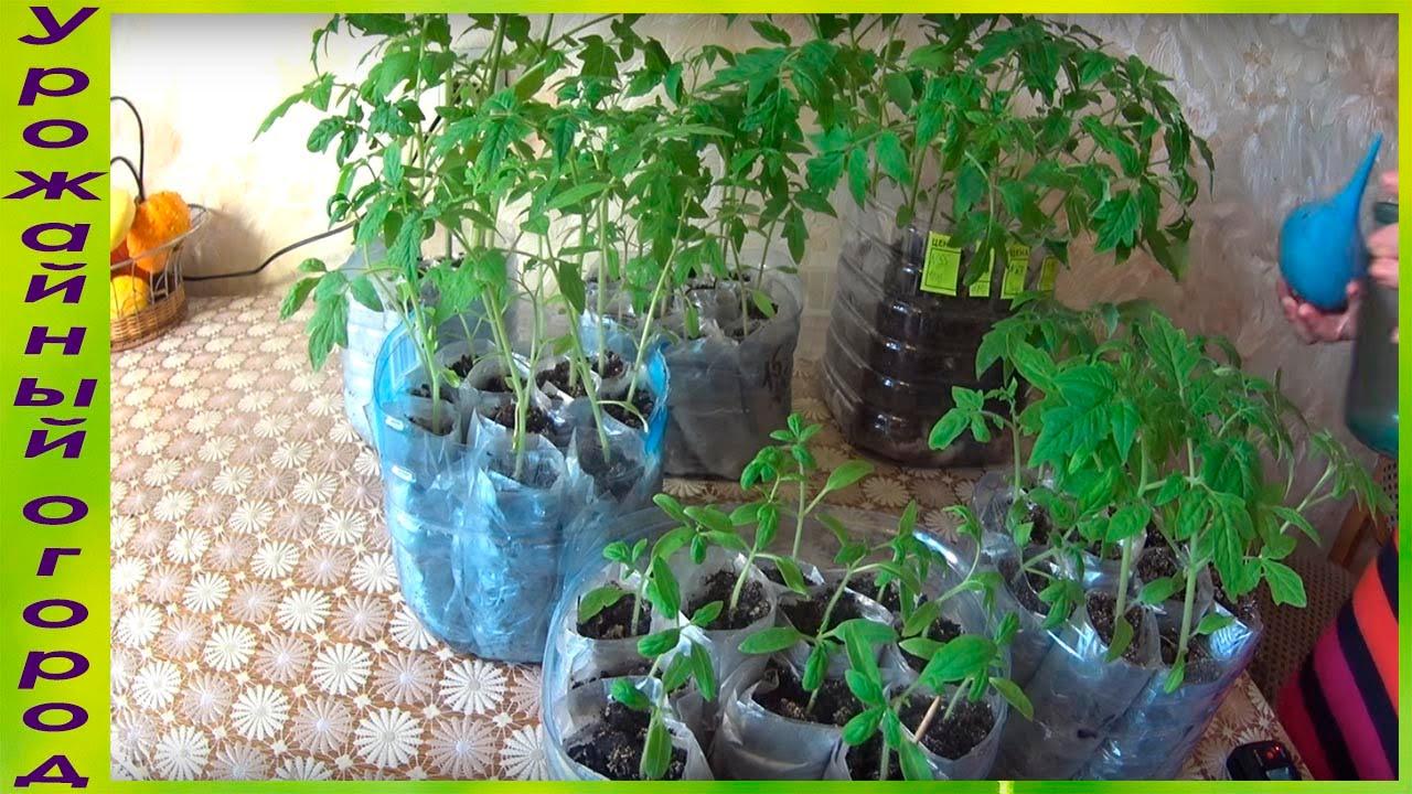 Посадка рассады помидор в пеленку 78