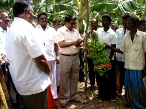 Harvest of Banana bunch by Mr.V.Post of Netherlands and Mr. T. Soundaiah, I.A.S.