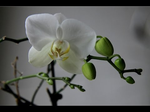 Как цветет орхидея 6 лет на одном месте .