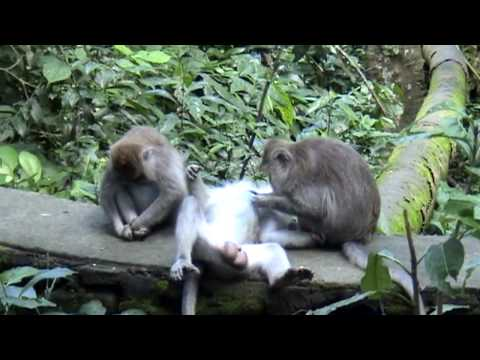 This is a pretty entertaining video of monkeys getting crazy in the Monkey Forest of Ubud, Bali, Ind