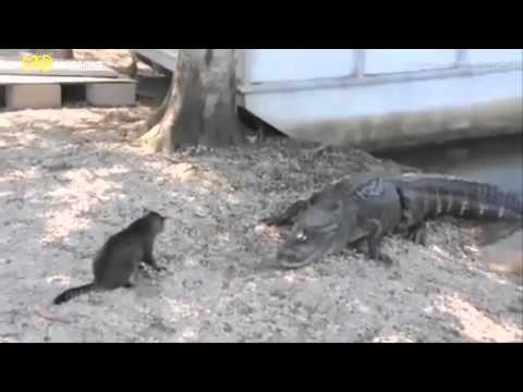 Cat vs Alligator/Отважный кот против крокодила