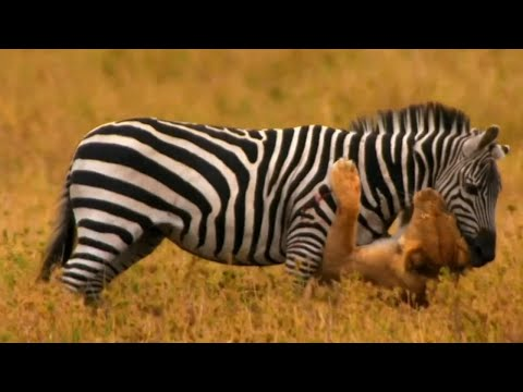 Lions Attacking Zebra - Lion Vs Zebra 2014 video