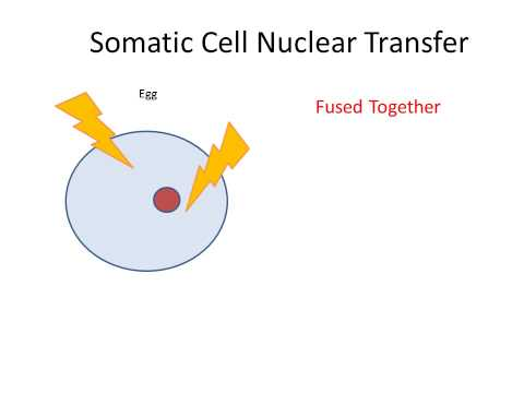 somatic cell nuclear transfer essay
