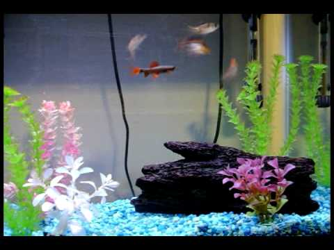 Freshwater Aquarium (29G, Barbs, Rainbow Shark, Pictus Catfish) Video